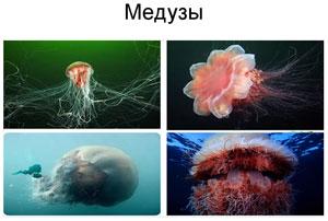 Медузы Японского Моря