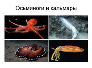 Осьминоги и кальмары Японского моря